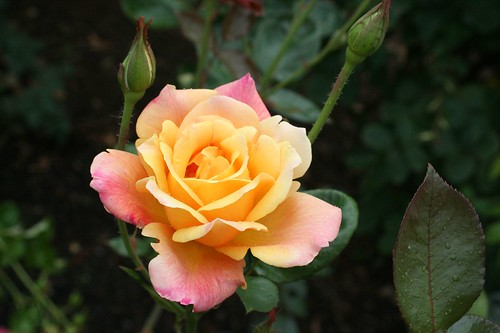oregon_rosegarden8 | by Tiffany Joyce