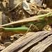 Gafanhoto // Grasshopper (Aiolopus puissanti), female