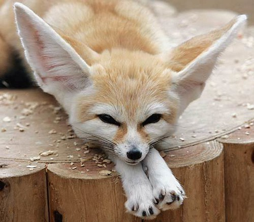 This is a african fennec fox the cleveland zoo has one o - Pagina da colorare fennec fox ...