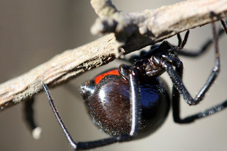 Black Widow Spider | by peasap