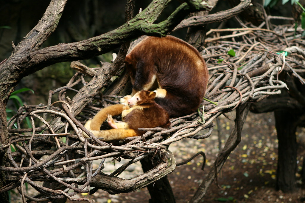 Tree Kangaroo Joey and Mother | John-Paul Pagano | Flickr