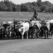 2007 Chisholm Trail Cattle Drive