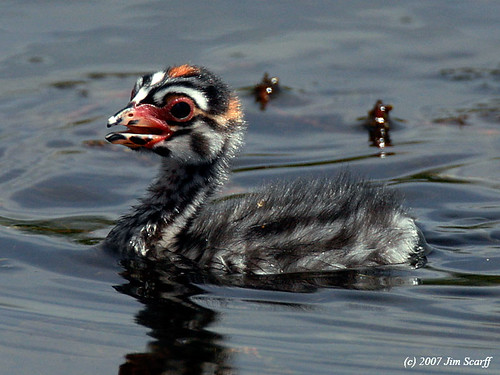 Pied- billed grebe chick | by Jim Scarff