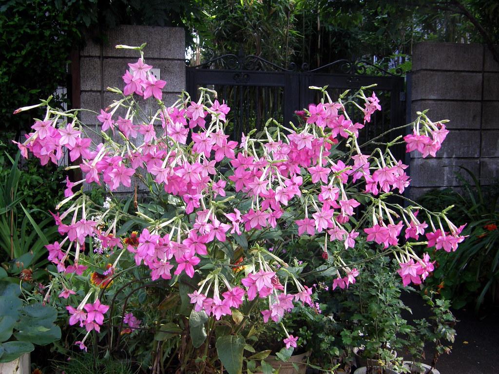 Душистый табак - растения - растения для сада.