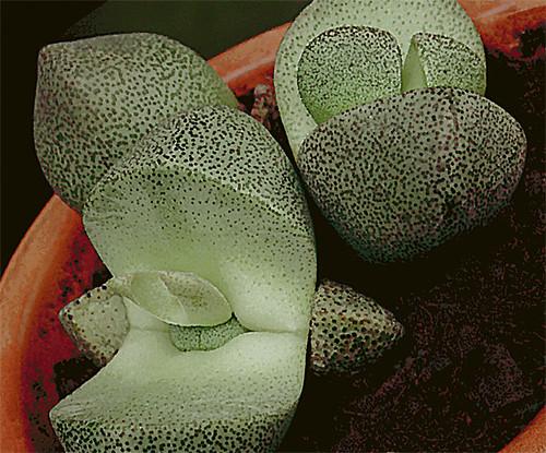 Split Rock Cacti The Quot Split Rock Quot Plant Looks Like A