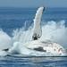 Hervey Bay Whales 1001