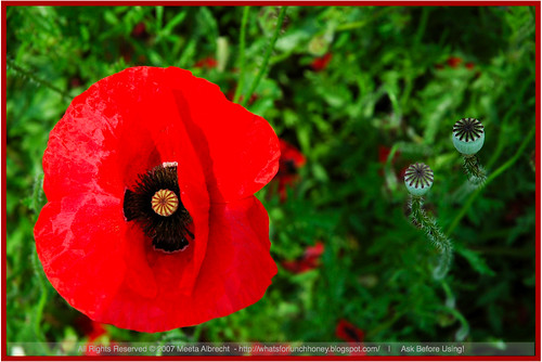 Poppy Passion | by MeetaK