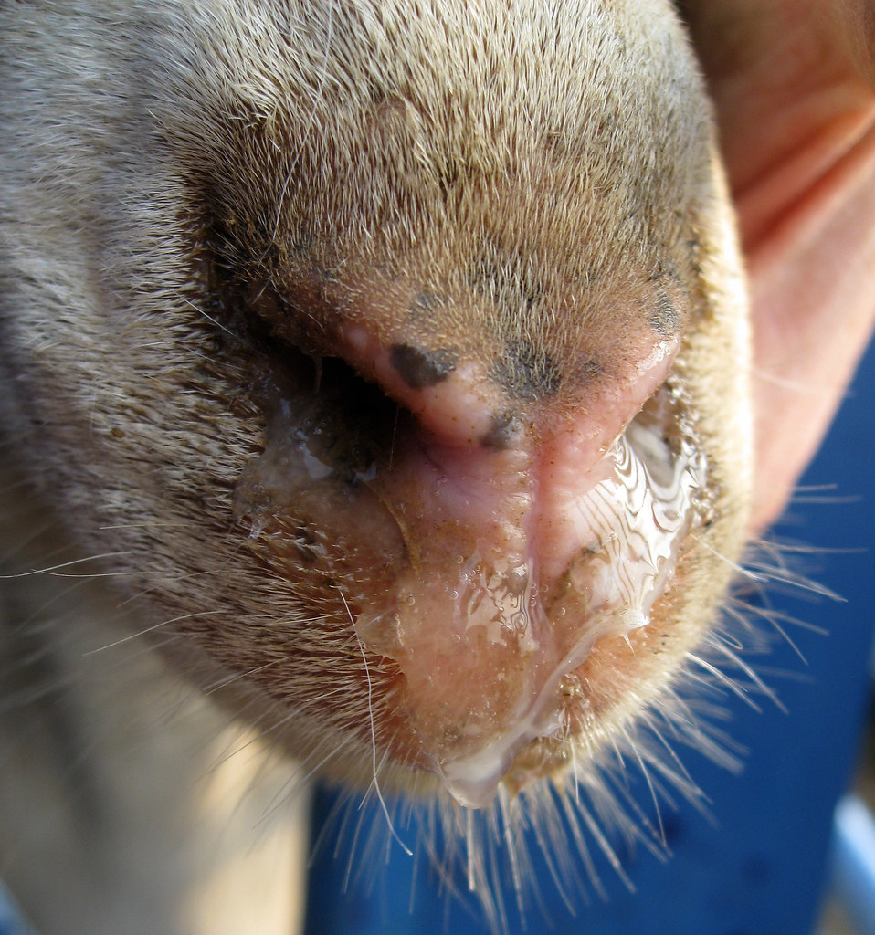 Clear Discharge From A Dog S Nose