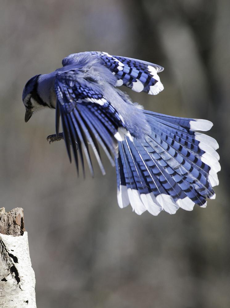 blue jay landing ontario canada steve courson flickr