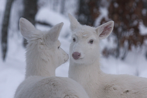 Albino Whitetail Deer Mirror Image | by Lifeinthenorthwoods.com