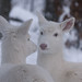 Albino Whitetail Deer Mirror Image