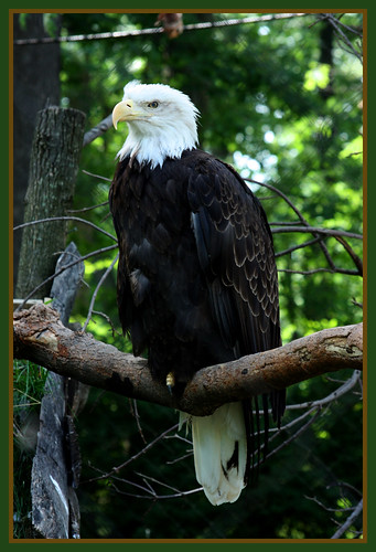 Bald Eagle | by LadyDragonflyCC - >;<