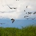 Laughing Gulls take to the Cloudy Skies