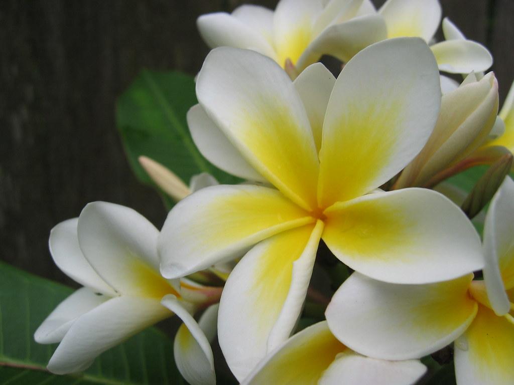 White Flower Plumeria Alba West Indian Jasmine