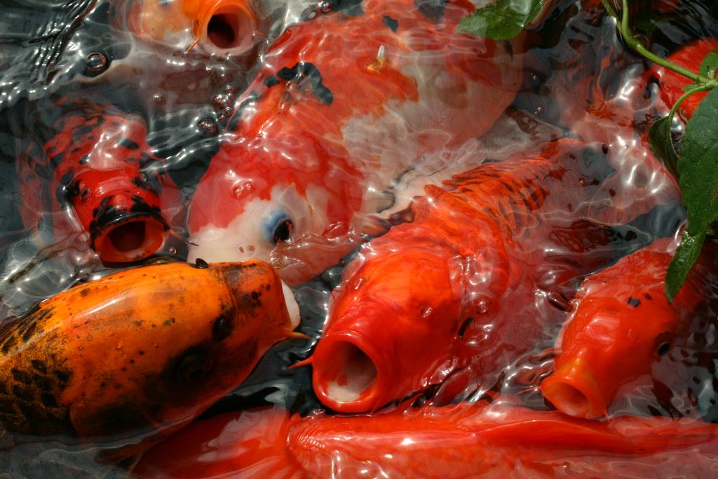 Koi carp at butterfly world swindon uk koi carp riot for Carpe koi reproduction