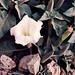 Datura in Bloom