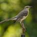 Northern Mockingbird_2007-07-02