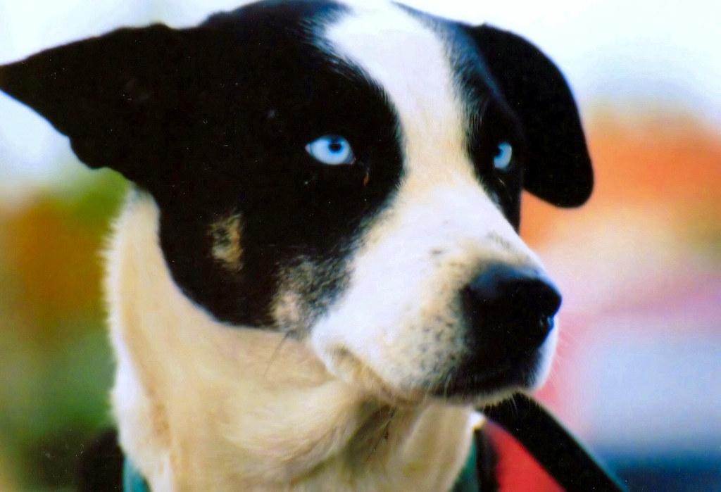 Blue Dog S Eyes