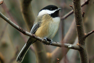Black Capped Chickadee | by bison_bill_c