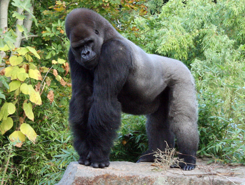 African silverback gorilla - photo#5
