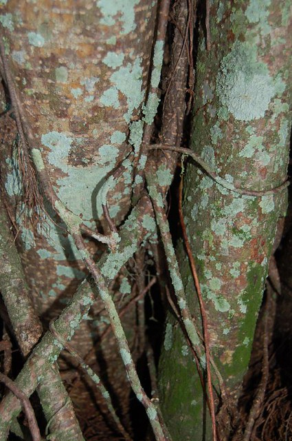 Blue Green Fungus Decorates Ficus Trunk Biscayne Park
