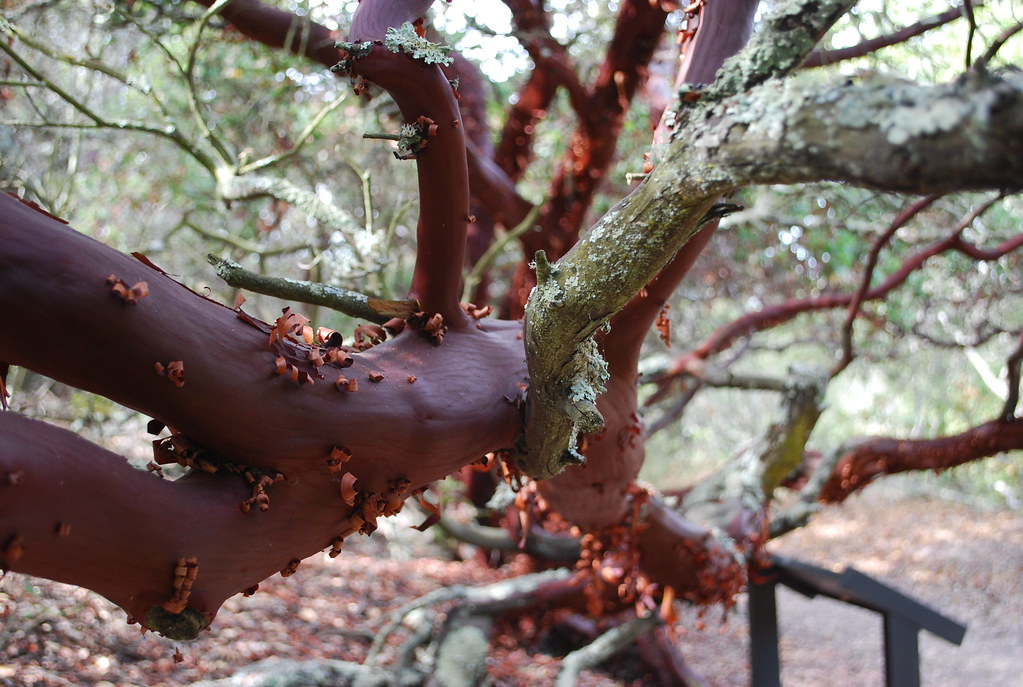 Manzanita trunk | by nickton