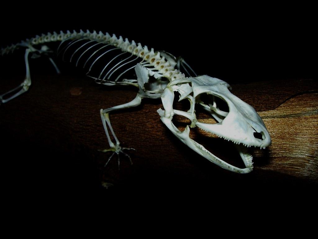 Tokay Gecko Skeleton Gecko Gecko Skeleton Articulated