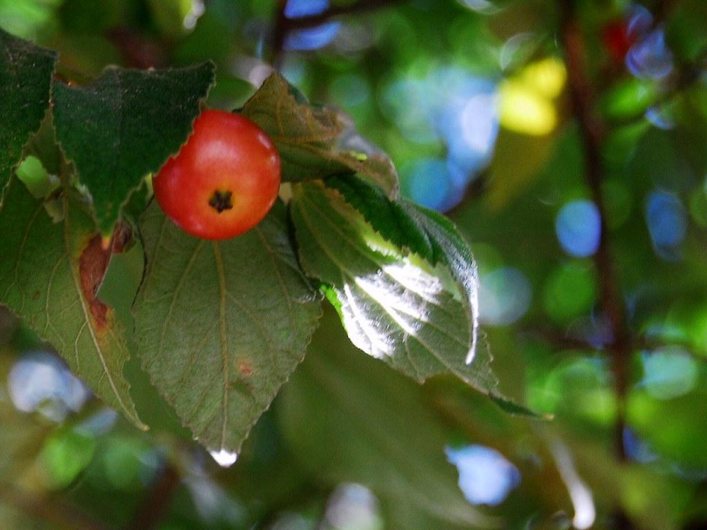aratilis (Muntingia calabura) | Almost everyone I know who