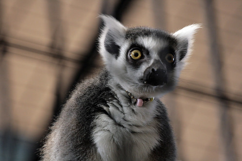 Lemur | by ktpupp