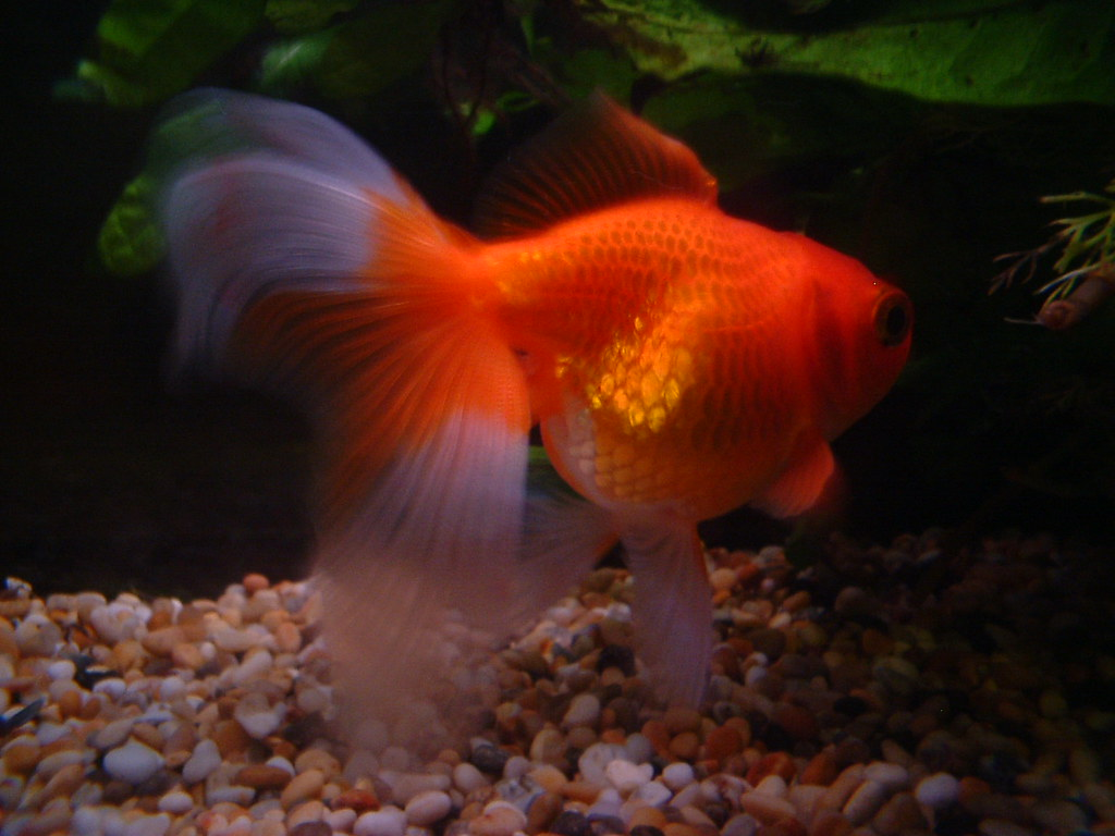 Dave the goldfish dave the chubby little goldfish for Red para peces de acuario