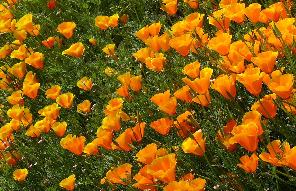 Escholtzia Californica 1 Papaveraceae Western United