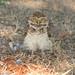 Coruja-buraqueira (Speotyto cunicularia) assustada 65 20-09-07 030