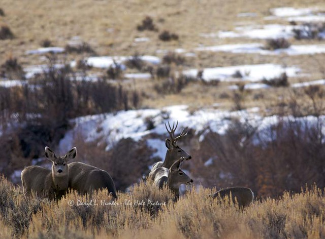 Mule deer herd dubois wy daryl l hunter the hole for Glasplatte hinter herd