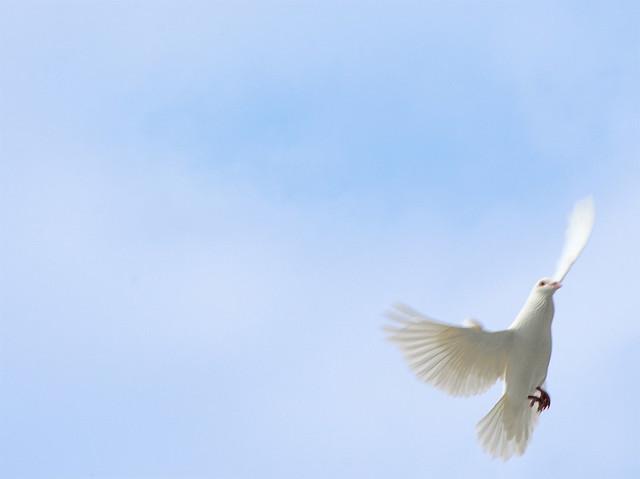 white dove against blue sky