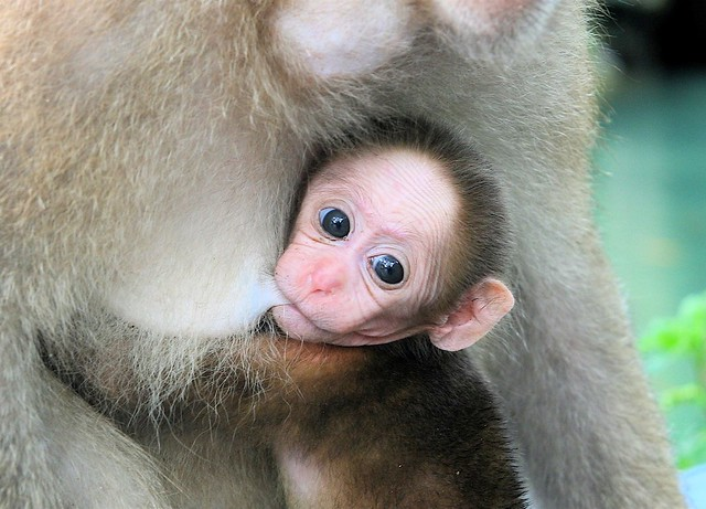 baby monkey nursing | chiang rai, thailand. baby monkey at t… | flickr