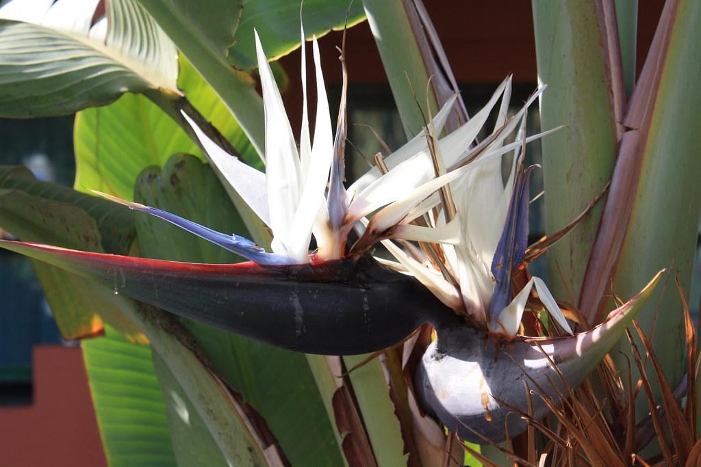 fleur oiseau du paradis cyril chauchis flickr. Black Bedroom Furniture Sets. Home Design Ideas