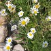 Wild Daisies By the Pond