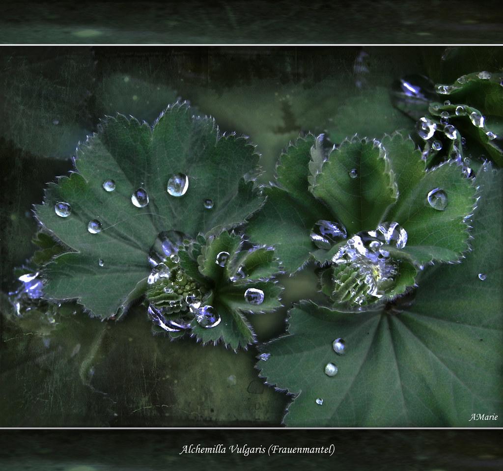 pearls of magic plant alchemilla vulgaris frauenmantel. Black Bedroom Furniture Sets. Home Design Ideas