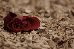 A lonely rose... by HAMED MASOUMI