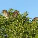 Juvenile Black Crowned Night Herons