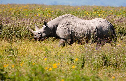Black Rhino | by gcraig3si