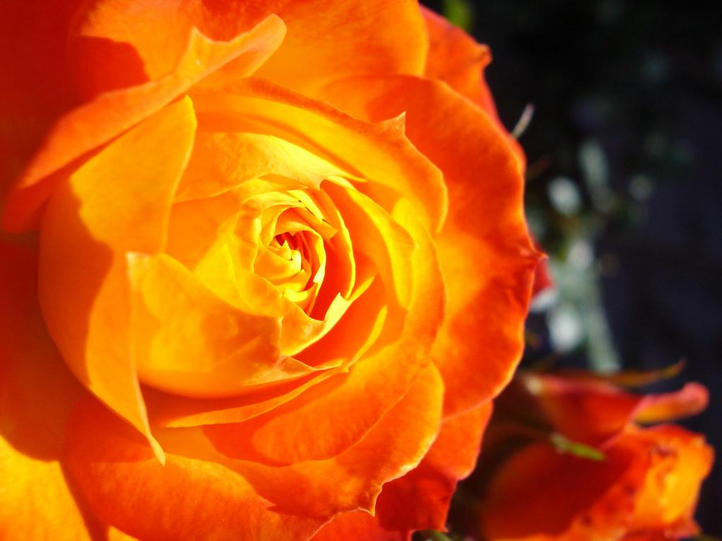 Rosas Color Naranja/ Tangerine Roses.