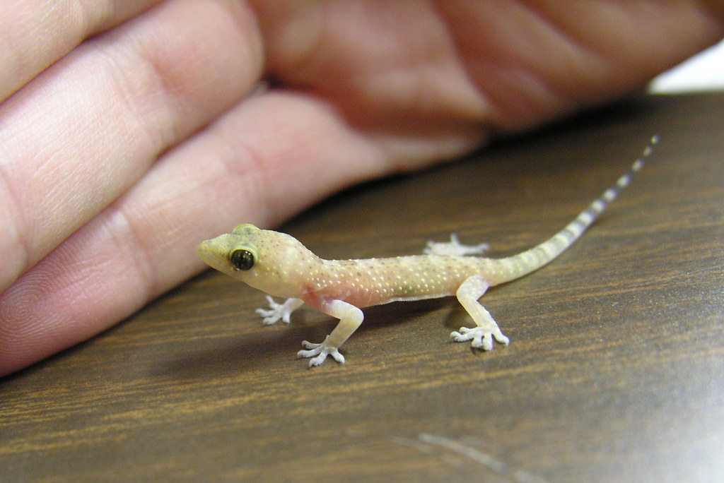 Translucent Baby Gecko This Little Gecko Was Found In