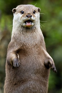 Otter | by sparky2000