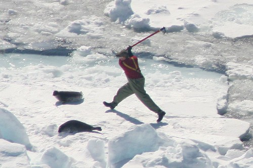 Canadian Seal Hunt | by humanesocietyoftheunitedstates