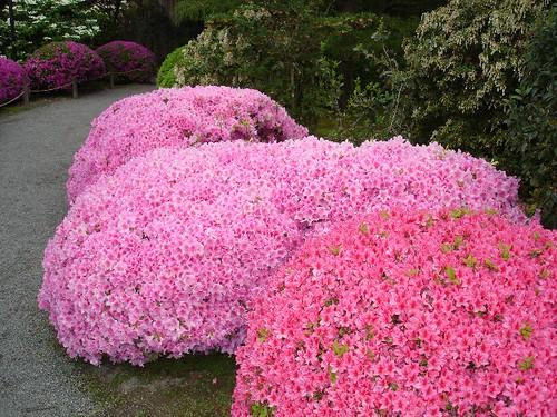 Seattle's Japanese Garden (27) [pink Bushes]