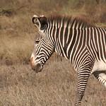 Zebra, profile