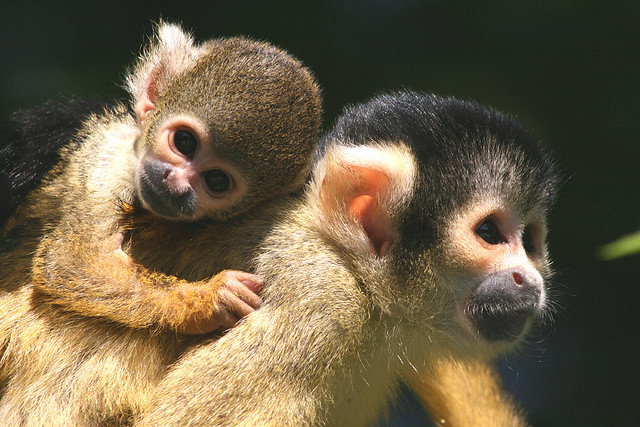 Monkey clinging