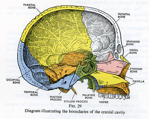 Heart Function In Endocrine System moreover 6607333 as well Sinuses 61 Image RM4183 furthermore Anatomy And Physiology Understanding Circulation And Respiration in addition The Structure Of Pseudounipolar Neuron Basic Neuron Types Unipolar Pseudounipolar Neuron Stock. on diagram of body cavities