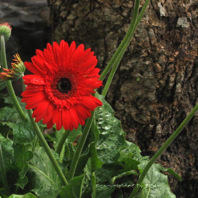 flower  red aster  flower  red aster  bibin c. alex  flickr, Beautiful flower